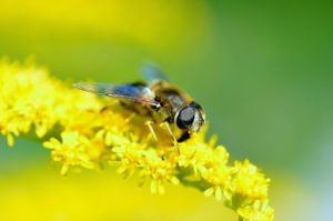 hover-fly-123297_1280